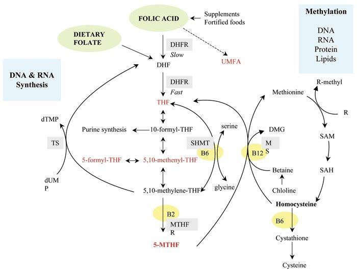The role of reduced B vitamin as coenzymes in homocysteine metabolism. DHF, dihydrofolate; DHFR, dihydrofolate reductase; DMG, dimethylglycine; dTMP, deoxythymidine monophosphate; dUMP, deoxyuridine monophosphate; MTHFR, methyltetrahydrofolate receptor; SAH, S-adenosyl-L-homocysteine hydrolase; SAM, S-adenosyl methionine; SHMT, sodium hexametaphosphate; THF, tetrahydrofolate; TS, thymidylate synthetase; UMFA, unmetabolized folic acid.